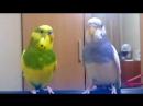Волнистые попугайчики пою В МИРЕ ЖИВОТНЫХ