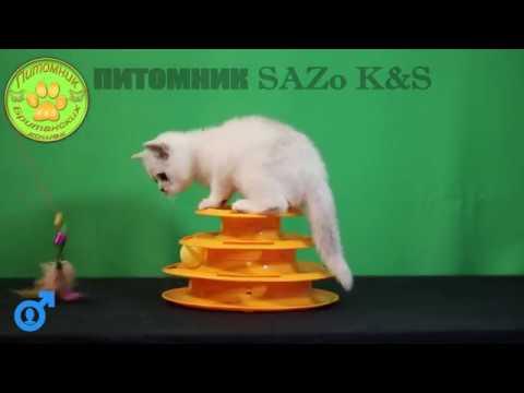 Серебристый британский кот бандит