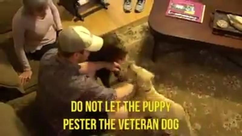 как познакомить свою взрослую собаку со щенком