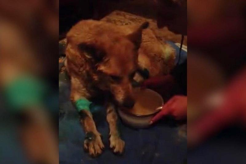 Неизвестные облили кислотой бродячую собаку в Дмитрове