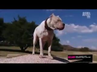 Dogo argentino morocho saves 2 girls from puma attack
