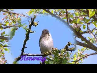 Послушай, как поют птицы России...
