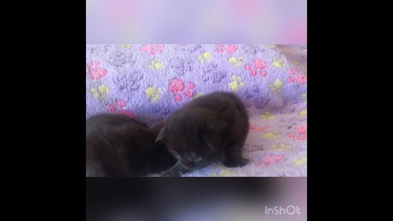 Котята мейн кун 14 дней, питомник Nord-Westland