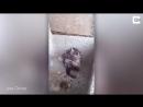 Житель Перу снял на видео животное, которое намыливалась мылом