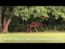 Продажа лошадей арабской породы конефермы Эквилайн тел WhatsApp 79883400208 ЭКЛОГА 2014г р