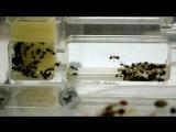 Несколько минут из жизни муравьев