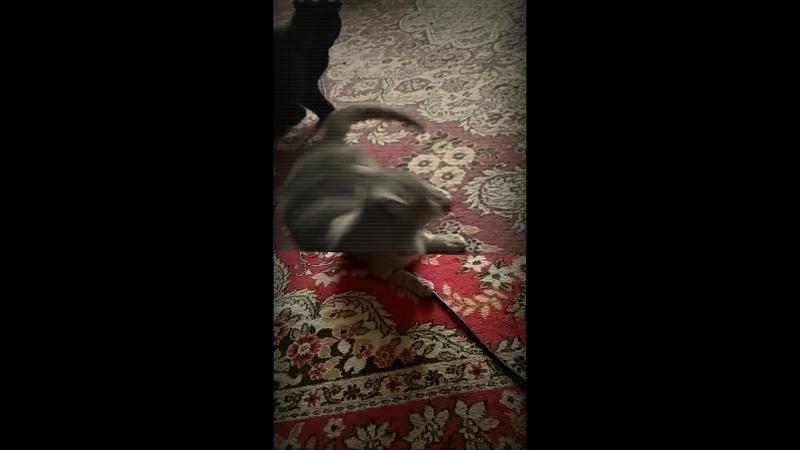 Homevideo певицасвета света неноваяигра кошки батл thecats cat funny