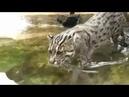 Камышовый кот рыбачит Видео с кошками
