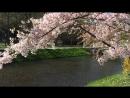 Лепестки вишневых цветов опадают
