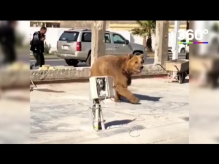 Медведь гуляет по улицам Ирака