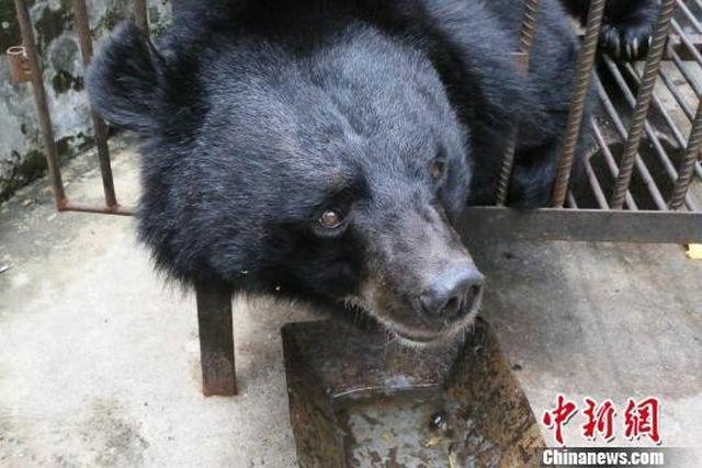 Китаянка два года растила медведя, думая, что это мастиф