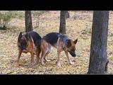 Ждём Щенков от Райда и Ирмы. Немецкие овчарки. German Shepherd Dogs Raid and Irma.