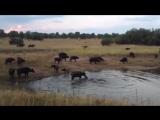 Нильский крокодил убивает буйвола, Nile crocodile kills buffalo