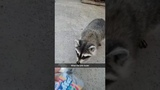 Raccoon Steals Full Bag Of Marshmallows