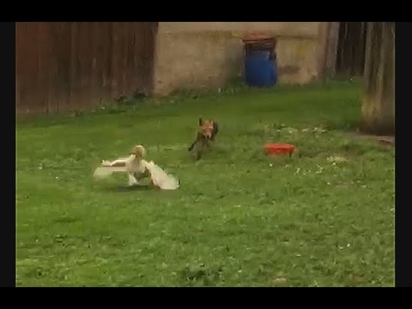 🦊 Brash hungry red fox vixen - Dreiste hungrige Fuchsfähe ❤ 🦊