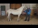 Красавец Прокол на Калгановском конном заводе