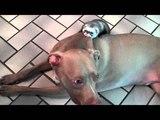 Pitbull vs Ferret - Epic Battle of the Beasts