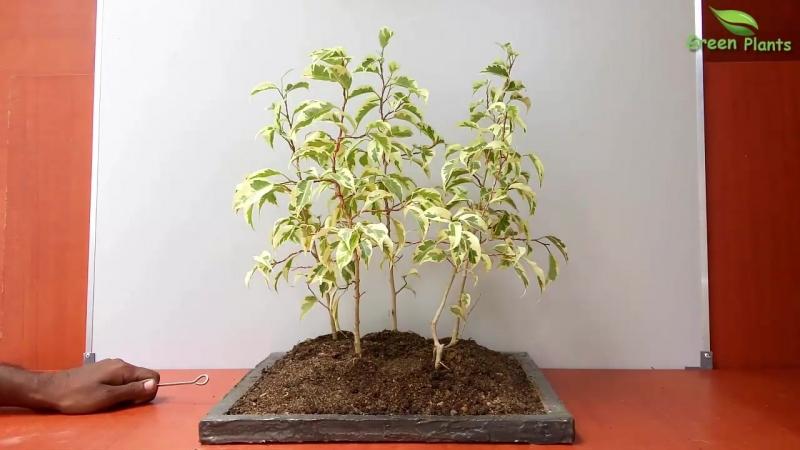 Фикус Старлайт Ficus benjamina Starlight