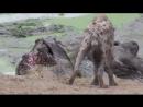 Маленький нильский крокодил оттесняет клан гиен