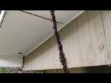 Муравьи грабят осиное гнездо, сделав живой мост