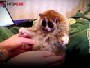 Эти лемуры кажутся вам милыми. Смотрите, чем расплачиваются животные за подобные видео.
