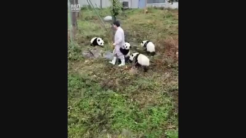 Кто сказал что с пандами легко 😊