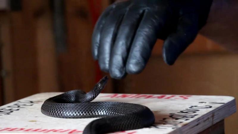 РЕАЛЬНАЯ_первая_помощь_при_укусе змеи