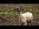 овца кричит