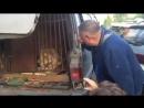 Кубанская львица больше недели прожила в машине