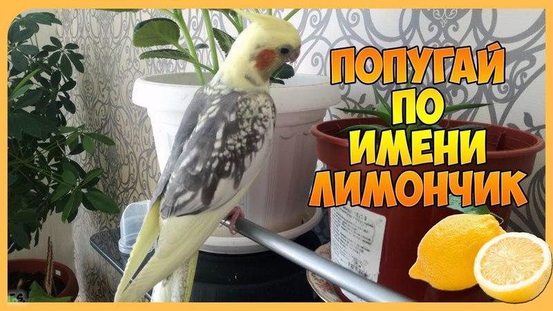 🐤🐦 Попугай Корелла по имени Лимончик 🐦🐤