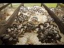 Переработка блоков вешенки дождевым червем. Разведение червей. Выращивание грибов.