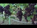 Виноград Гордей, Дунав, Смарагд, Синдикат, Каталония, Фердинанд. Виноград 2017.