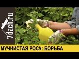 Мучнистая роса на плодовых кустарниках- боремся без химии - 7 дач