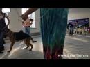 16 сентября 2018 Выставка собак в г Тюмени эксперт Пермяков М Ю ТИМЕРТАШ САМО СОВЕРШЕНСТВО дочь Леди и Эрика Тимерташ Железна