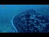 Слепой мраморный скат на Акульей скале | Дайвинг в Паттайе