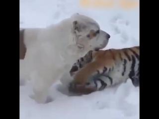 Алабай с тигром