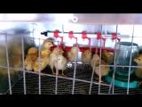 цыплята, девятые сутки