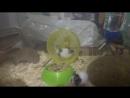 Японские карликовые мышки