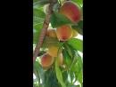 Персики. Крым