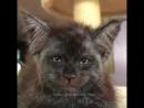 кот с человеческим лицом-=