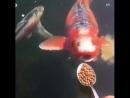 Культурные рыбы едят с ложки