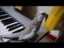 オカメインコ ぽこちゃん cockatiel singing Totoro Попугайчик поет песенку из Мой соед Тоторо