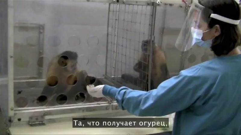 Реакция на несправедливость - тест с обезьянами