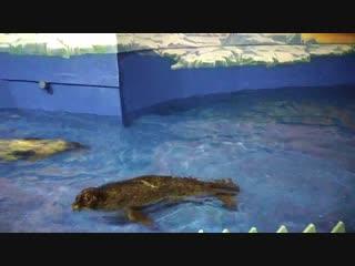 Морские котики (океанариум Харбин)