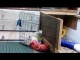 Жар -Птица из СА