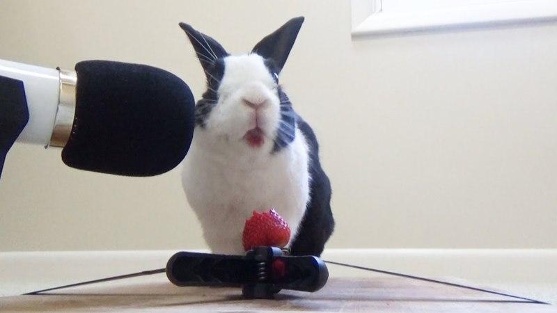 Rabbit eating juicy strawberry ASMR