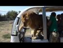 Туристы сняли на видео самого любвеобильного льва в Крыму. Лев Филя, сафари-парк Тайган, Крым.