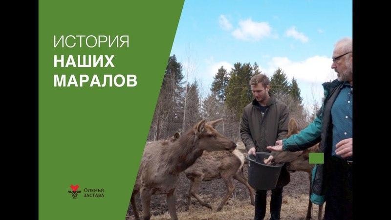 История наших маралов l Контактный зоопарк