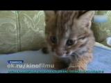«Думали, что домашний»_ В Приморье спасли краснокнижного лесного кота