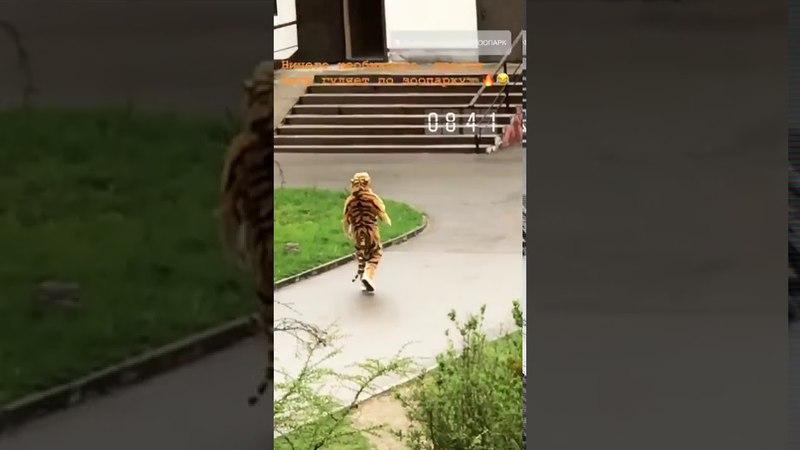 ШОК! В Калининградском зоопарке Амурский тигр идёт бухать к слонам и жирафам